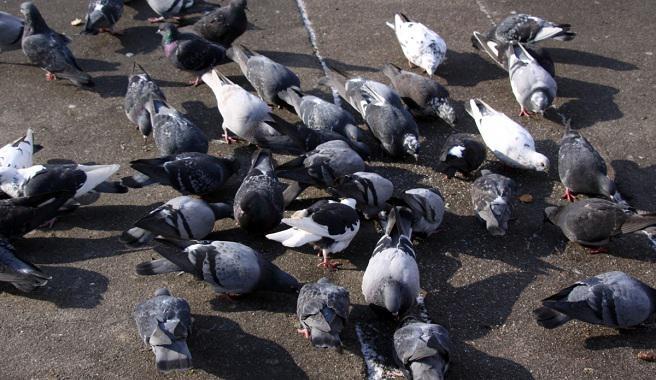 Advierten que llevará diez años reducir la plaga de palomas en Rosario